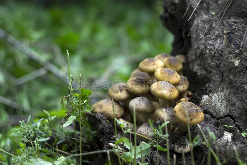 蜜环菌或蜜环菌属在树桩,蘑菇在森林里 免版税图库摄影