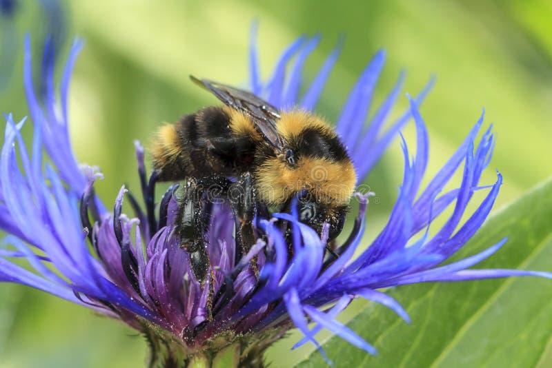 蜜蜂会集在蒙大拿矢车菊的花粉 免版税库存照片
