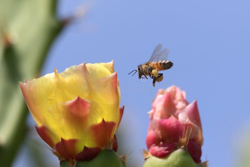蜜蜂和仙人掌花 免版税库存照片