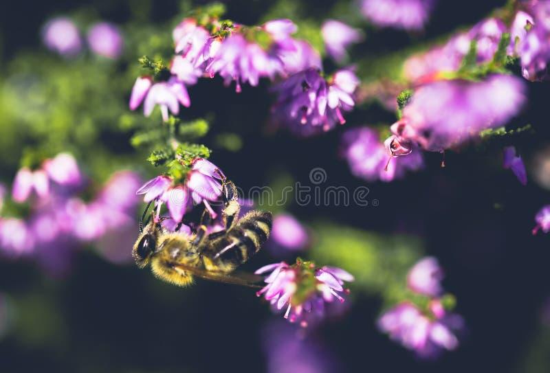 蜜蜂在花上 库存照片