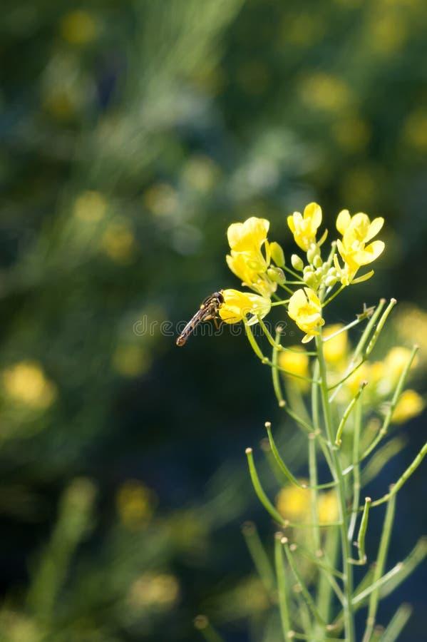 蜜蜂栖息在一朵美丽花的黄叶上,背景是田地 库存图片
