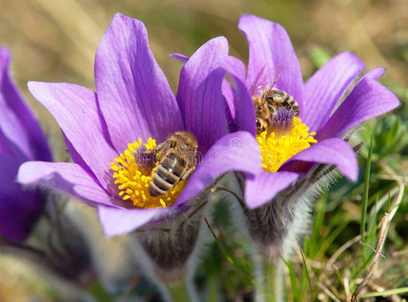 蜜蜂细节在紫罗兰色开花的Pasqueflover的 免版税库存图片