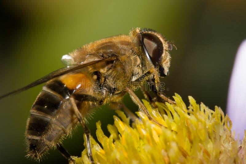 蜜蜂被授粉的宏指令 免版税图库摄影