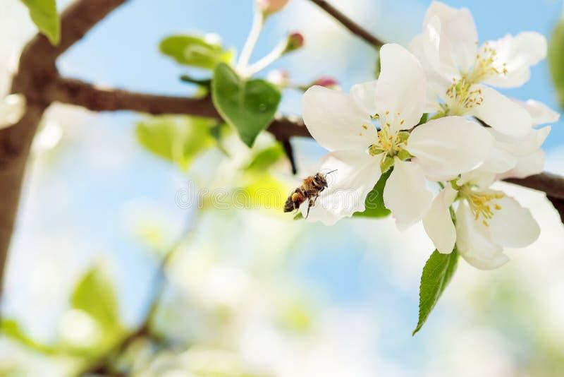 蜜蜂飞行到苹果计算机开花收集花粉 库存照片