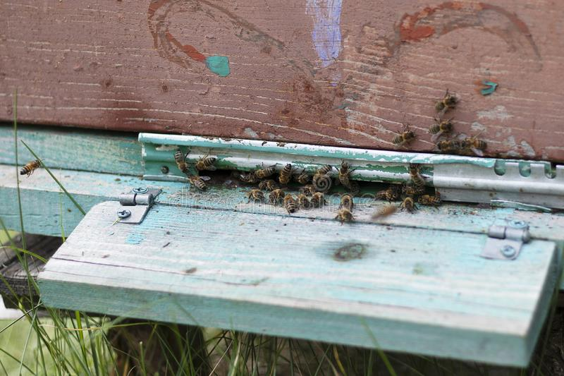 蜜蜂飞行到蜂房并且收集蜂蜜 蜂房的养蜂场 养蜂业自然蜂蜜 对的入口 库存图片