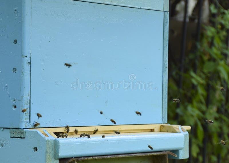 蜜蜂飞行到蜂房 r 蜂群带来蜂蜜家 ?? 库存图片