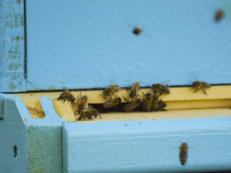 蜜蜂飞行到蜂房 r 蜂群带来蜂蜜家 ?? 免版税库存照片