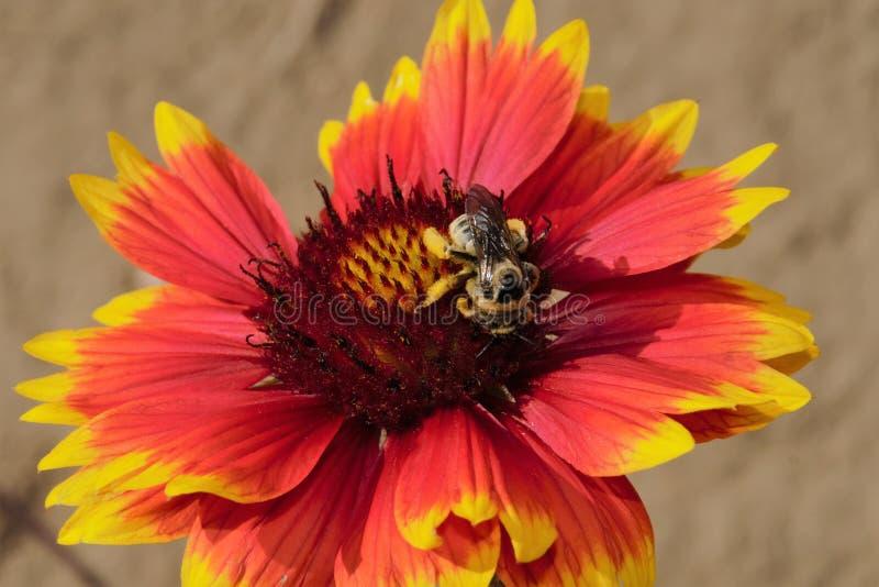 蜜蜂2 库存图片