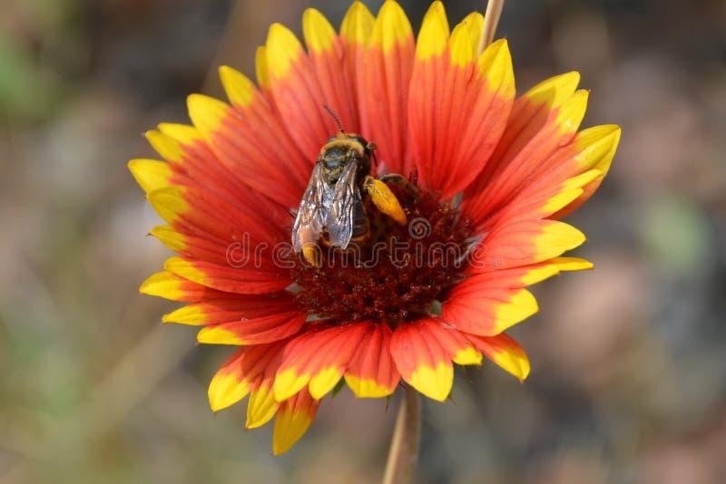 蜜蜂3 库存照片