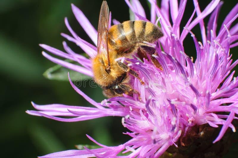 蜜蜂Apis mellifera坐紫罗兰色花 库存照片