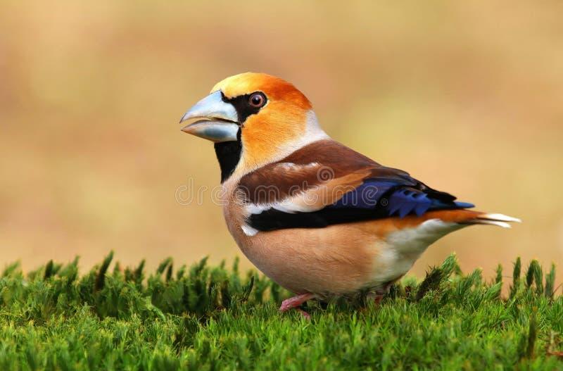 蜡嘴鸟��h�_羽毛, 蜡嘴鸟.