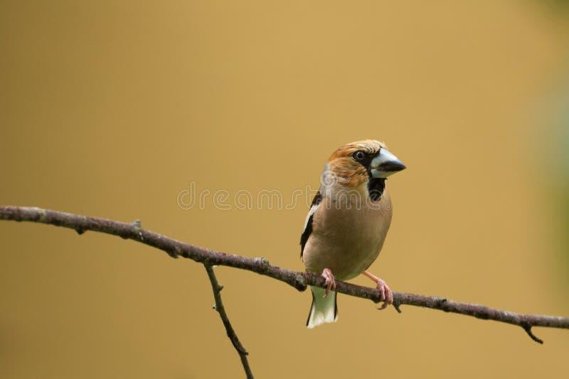 蜡嘴鸟鸟,隔绝在黄色背景,一点小鸡褐色鸟 图库摄影
