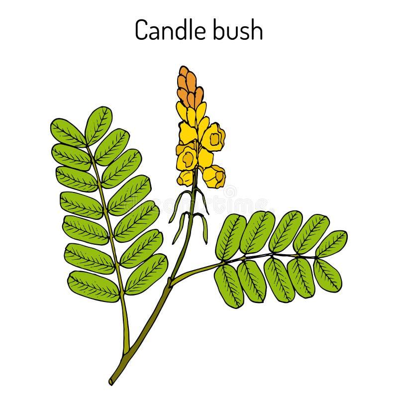 蜡烛灌木桂皮alata,装饰和药用植物 向量例证