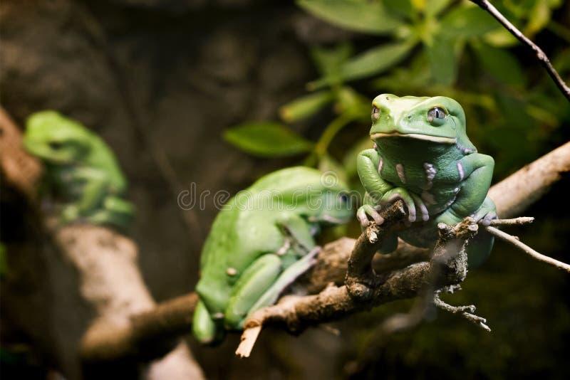 蜡状青蛙的猴子 免版税库存照片