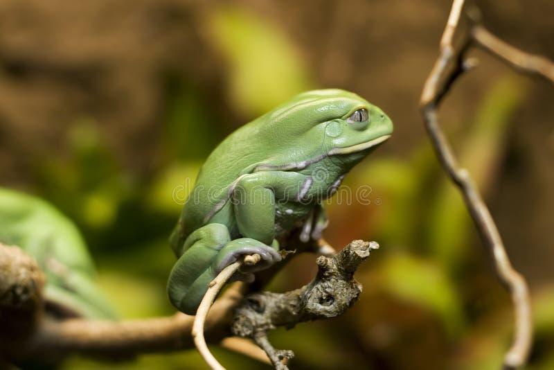 蜡状青蛙的猴子 库存照片