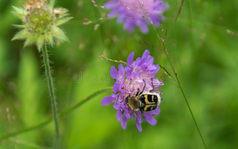 蜡甲虫用在花粉的黄色条纹饲料从花knautia arvensis 库存图片