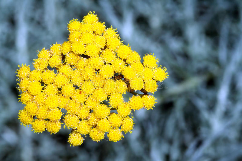 蜡菊属植物italicum 免版税库存图片