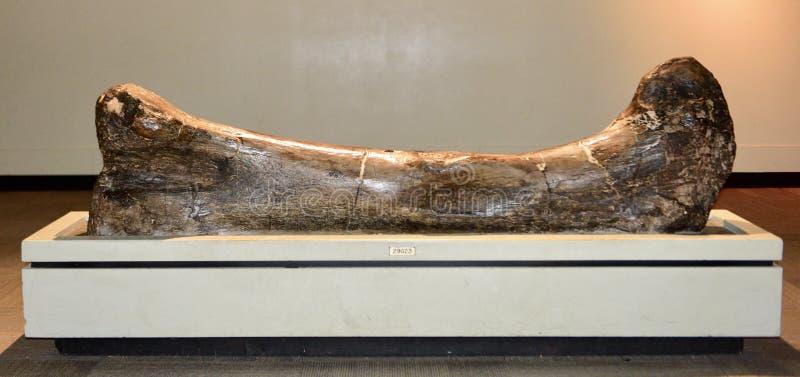 蜥脚类动物腿骨头 库存图片
