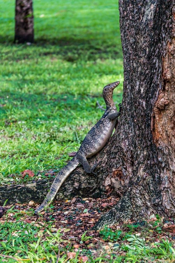 蜥蜴上升的树 免版税库存照片