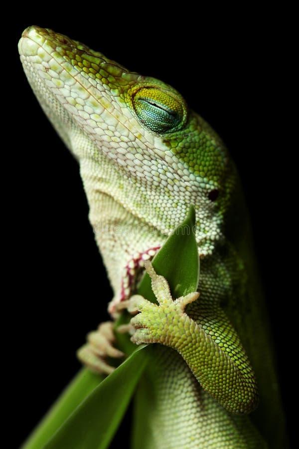 蜥蜴休眠 免版税库存照片