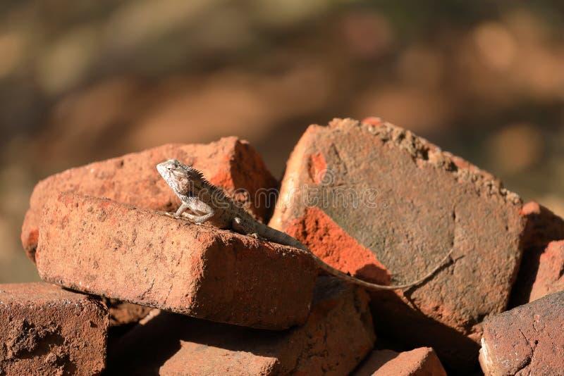 蜥蜴和爬行动物在斯里兰卡 库存照片