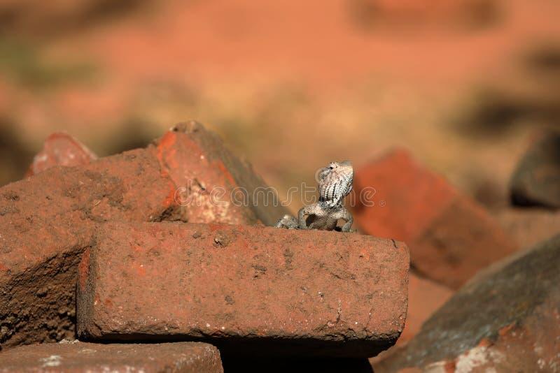 蜥蜴和爬行动物在斯里兰卡 库存图片