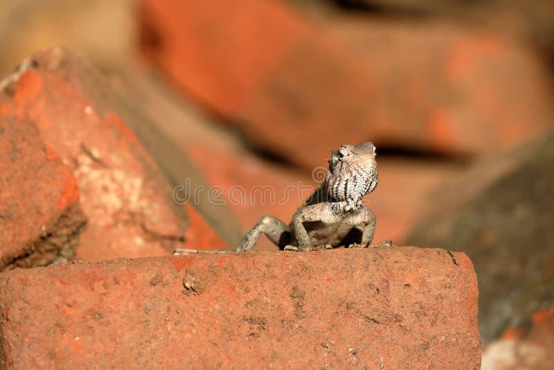 蜥蜴和爬行动物在斯里兰卡 免版税库存图片