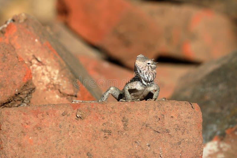 蜥蜴和爬行动物在斯里兰卡 免版税图库摄影