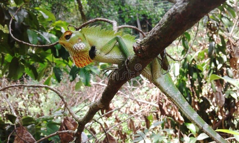 蜥蜴在斯里兰卡住 库存图片