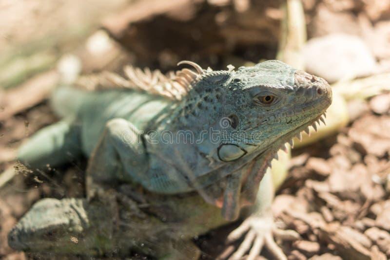 蜥蜴在窗口里,在重庆动物园里 库存图片