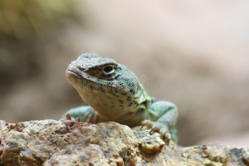 蜥蜴在菲尼斯动物园里 免版税图库摄影