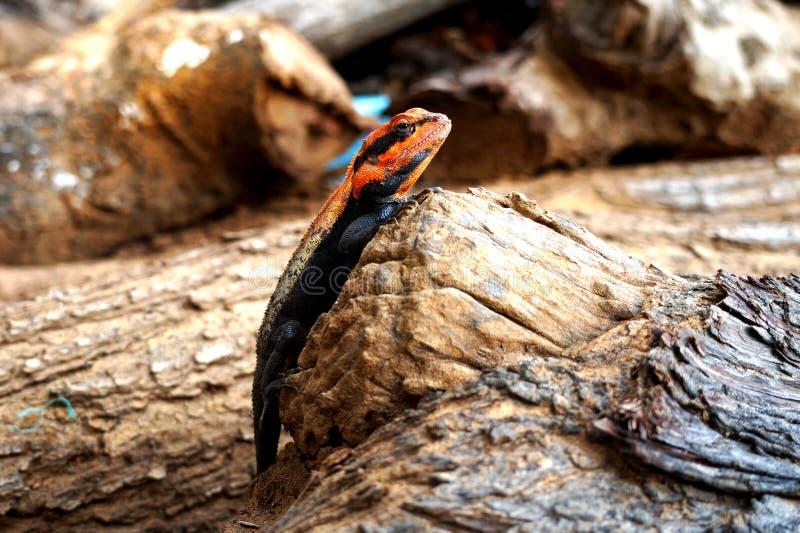 蜥蜴坐木头明显地是可看见的 免版税库存照片