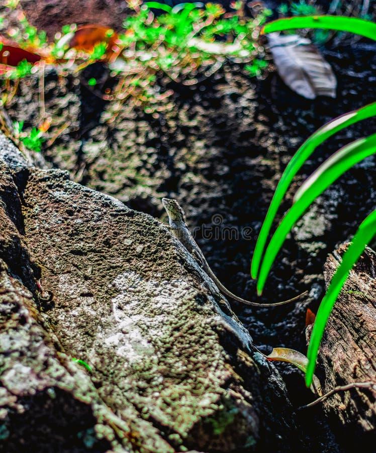 蜥蜴坐石头 库存图片