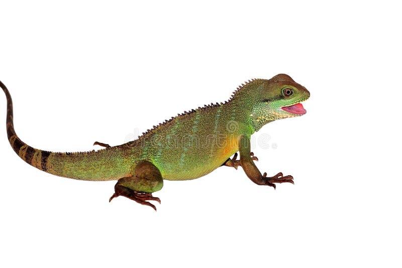蜥蜴显示牙 免版税库存照片
