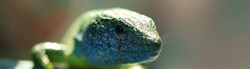 蜥蜴爬行动物,野生动物 库存照片