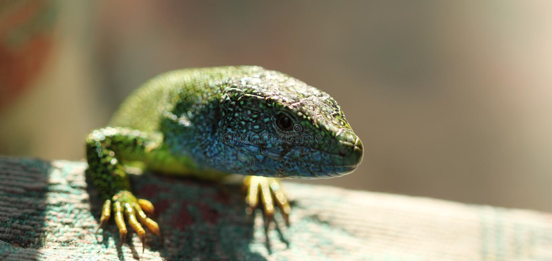 蜥蜴爬行动物,野生动物 免版税库存图片