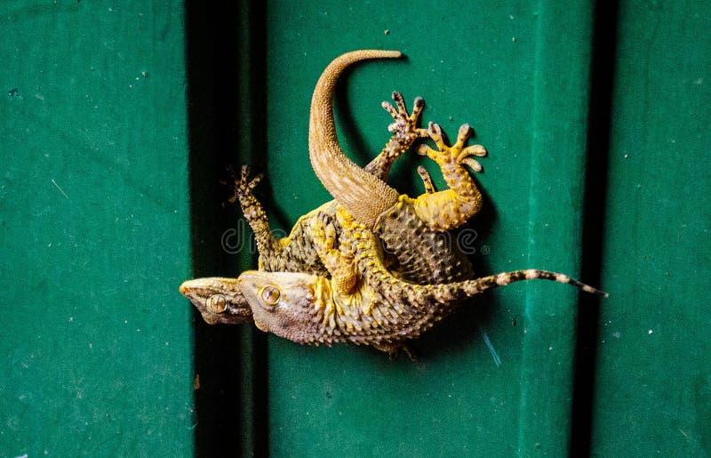 蜥蜴狂放的性 免版税库存图片