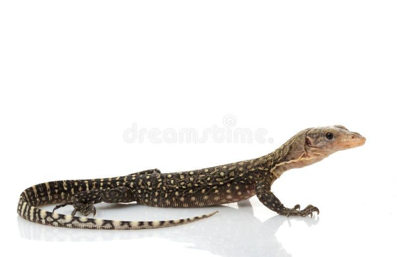 蜥蜴监控程序黄色 免版税图库摄影