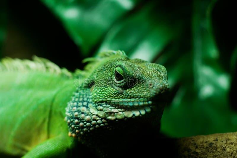 蜥蜴监控程序 免版税库存图片