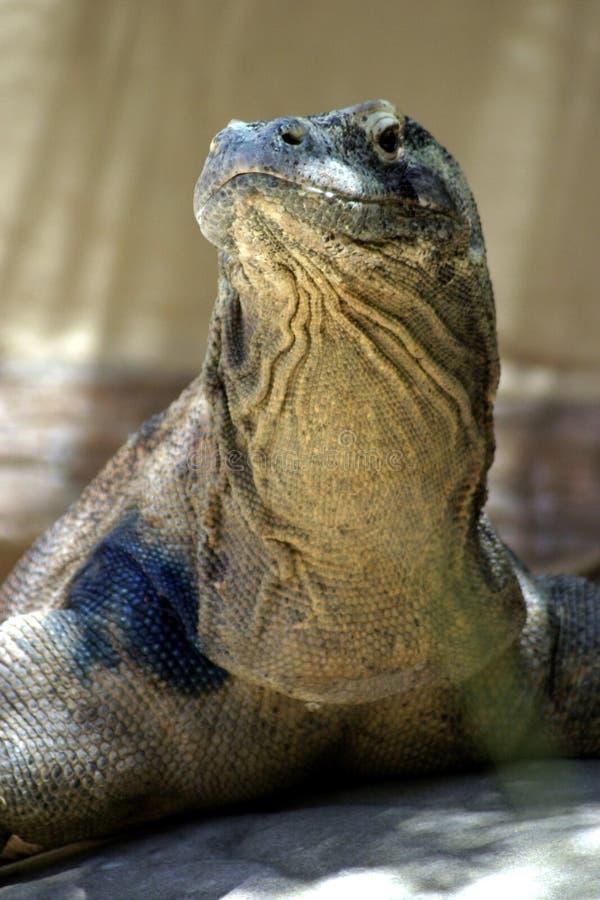 蜥蜴监控程序 库存照片