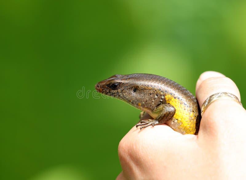蜥蜴美丽的多色动物在人的手上,五颜六色的爬行动物在巴厘岛Idonesia 库存图片
