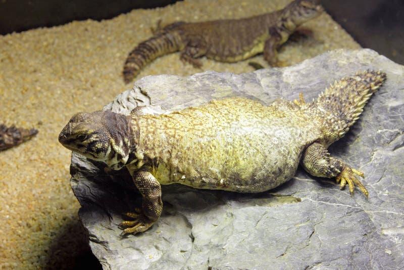 蜥蜴被盯梢的马里多刺 库存照片