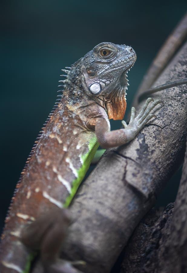蜥蜴,爬行动物的特写镜头 免版税库存图片