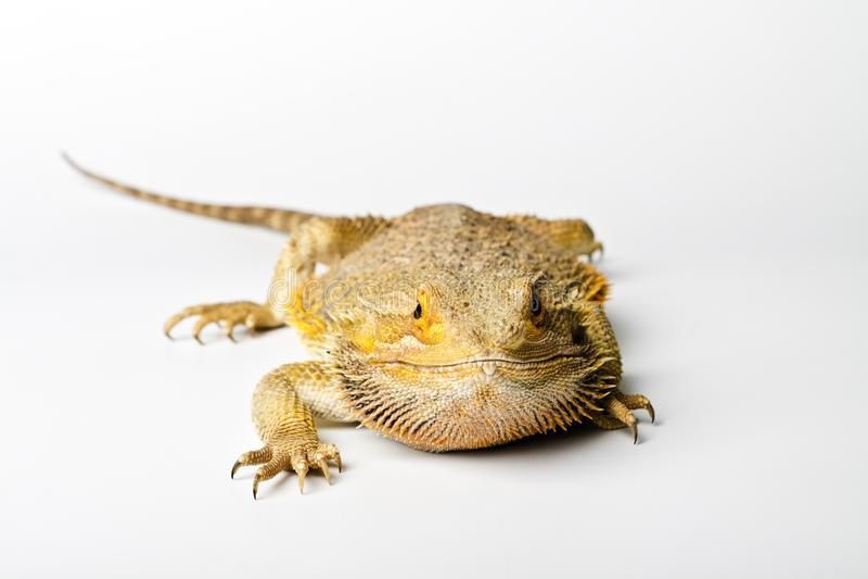 蜥蜴 在明亮的有胡子的龙 库存照片