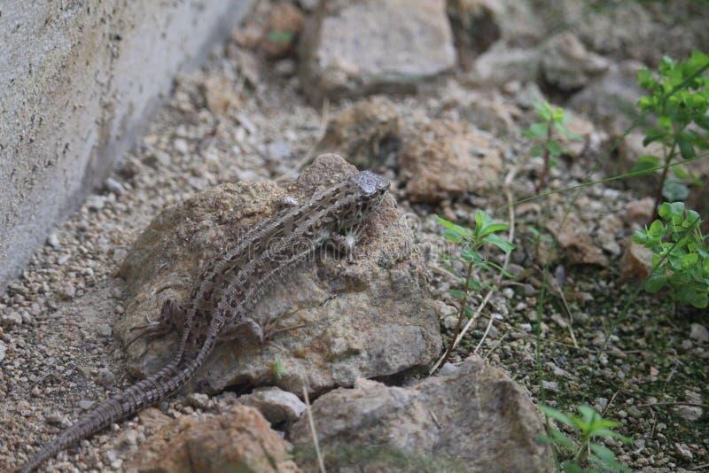 蜥蜴/Zootoca vivipara 库存图片