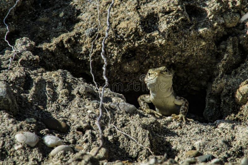 蜥蜴偷看在他的岩石的房子外面 库存照片