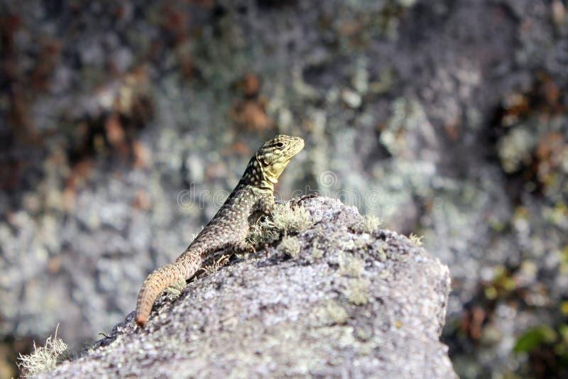 从蜥蜴关闭在岩石 库存照片