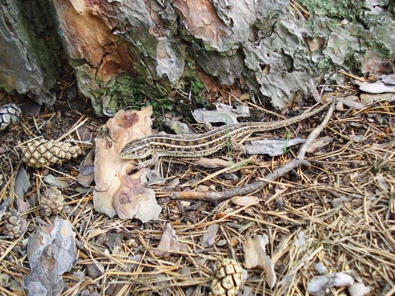 蜥蜴在森林里 免版税图库摄影