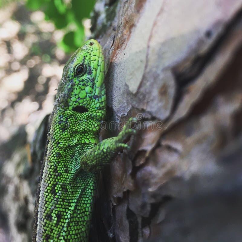 蜥蜴在森林里 图库摄影