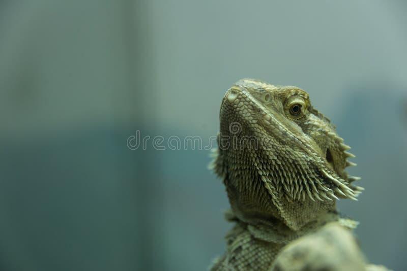蜥蜴在海法动物园里 免版税库存图片